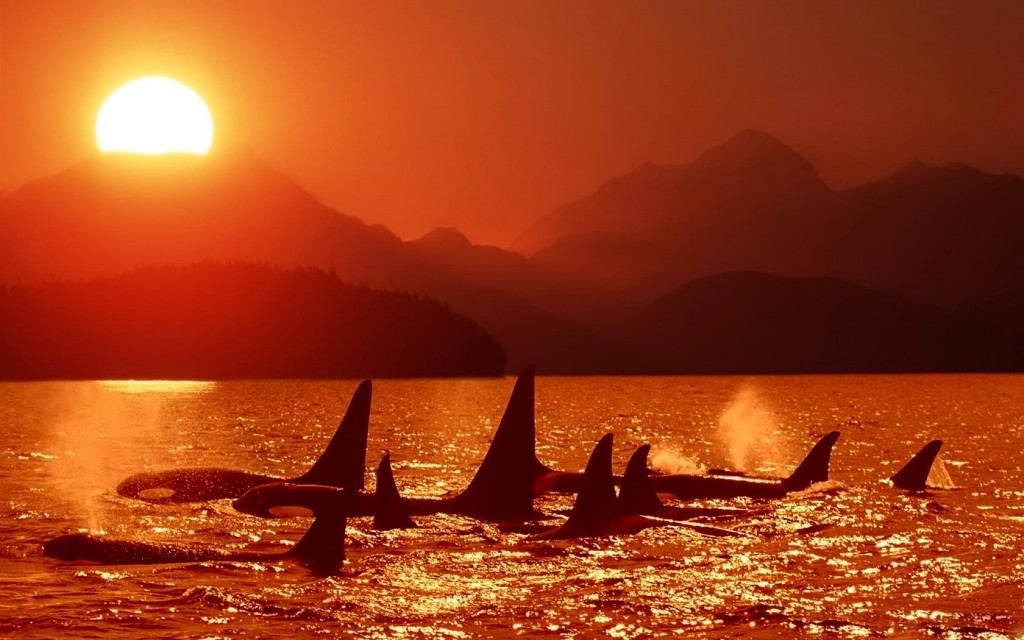 Killer Whales wallpapers HD
