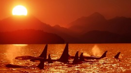 Killer Whales High Quality Wallpaper