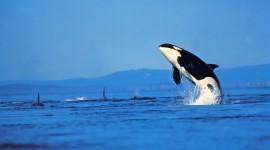 Killer Whales Wallpaper For Desktop
