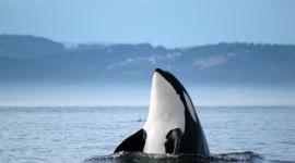 Killer Whales Wallpaper Free
