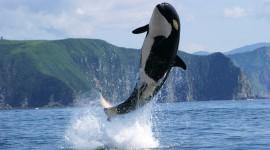 Killer Whales Wallpaper Full HD