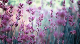 Lavender Best Wallpaper