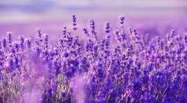 Lavender Desktop Wallpaper