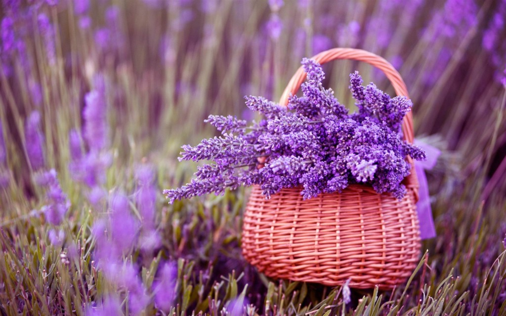 Lavender wallpapers HD