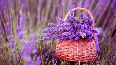Lavender wallpapers high quality