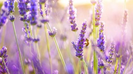 Lavender Wallpaper Download