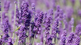 Lavender Wallpaper For PC