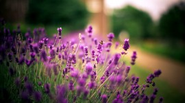 Lavender Wallpaper Free