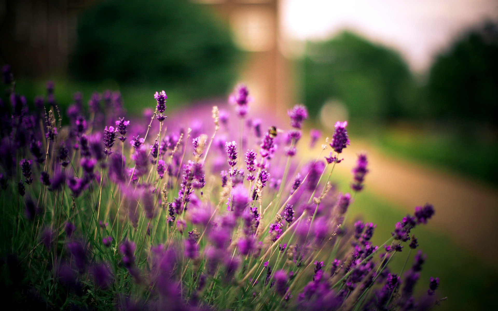Lavender Wallpapers High Quality | Download Free