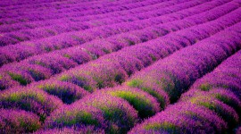 Lavender Wallpaper Gallery