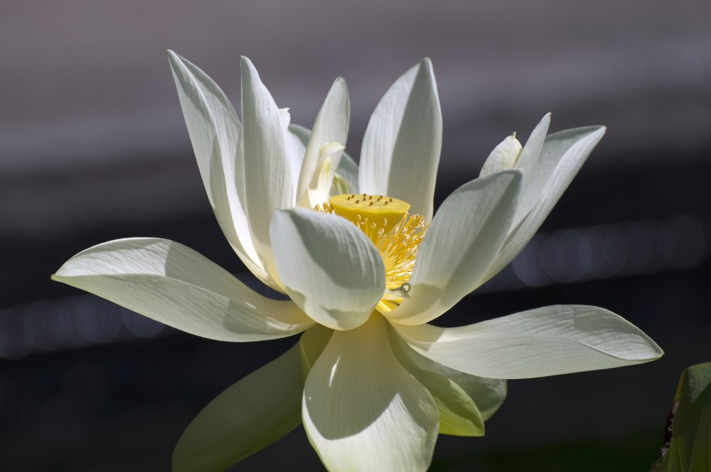 Lotuses wallpapers HD