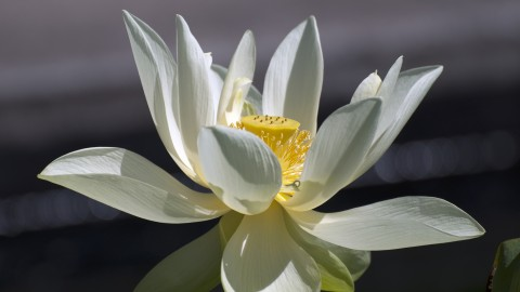 Lotuses wallpapers high quality