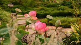 Lotuses Wallpaper Download Free