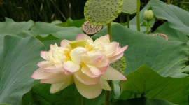 Lotuses Wallpaper For PC