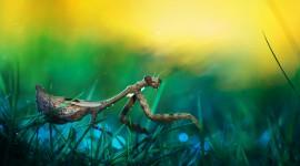 Mantis High Quality Wallpaper