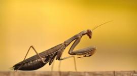Mantis Wallpaper For PC