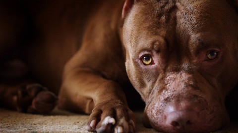 Pit Bull wallpapers high quality