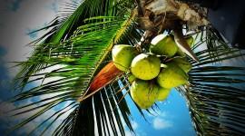 4K Coconuts Photo