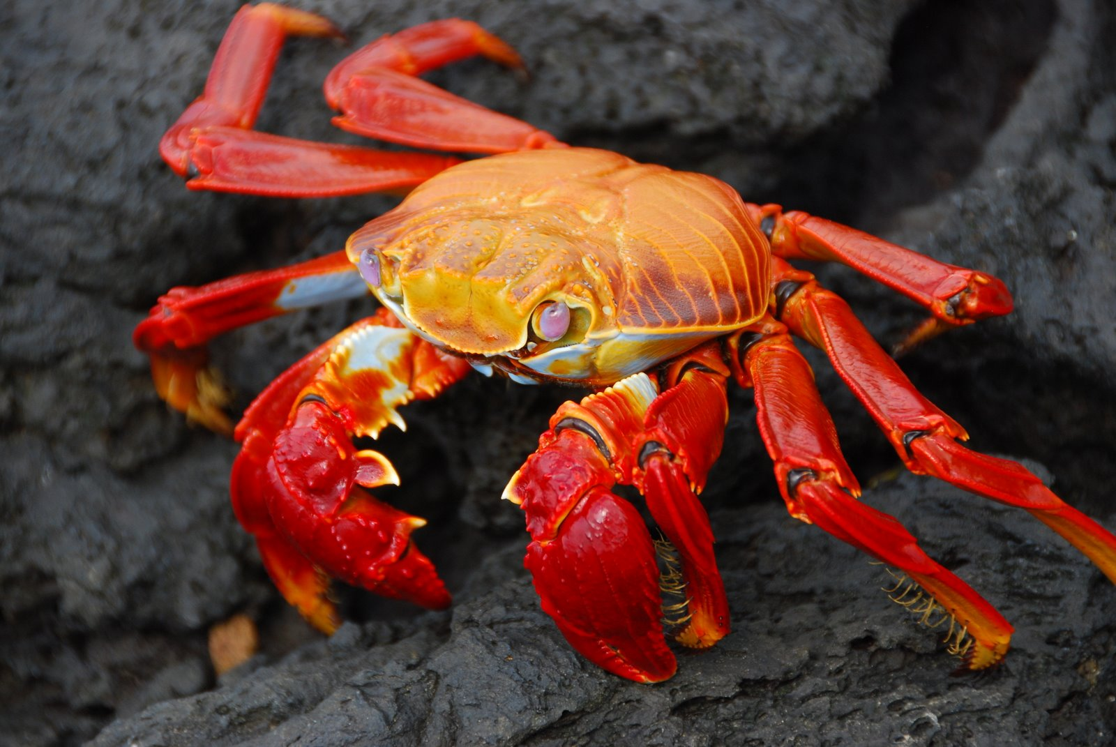 4k Crabs Wallpapers High Quality Download Free HD Wallpapers Download Free Images Wallpaper [1000image.com]