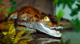 4K Crocodiles Desktop Wallpaper