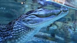 4K Crocodiles Photo Free
