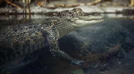 4K Crocodiles Photo#2