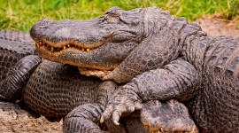 4K Crocodiles Photo#3