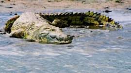 4K Crocodiles Photo#4