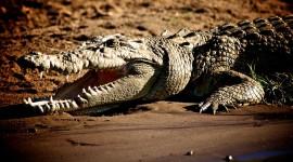 4K Crocodiles Wallpaper For Desktop