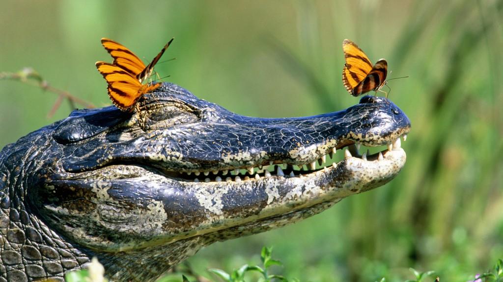 4K Crocodiles wallpapers HD