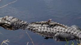 4K Crocodiles Wallpaper HQ#2