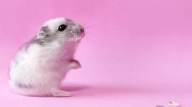4K Hamsters Photo