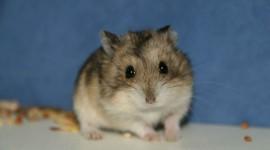 4K Hamsters Photo Free