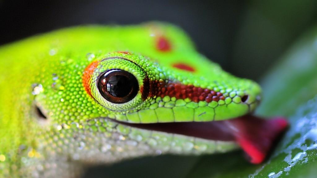 4K Lizards wallpapers HD