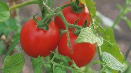 4K Tomatoes Photo Download
