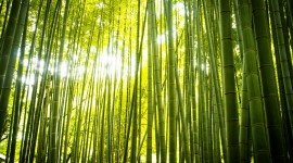 Bamboo Forest Desktop Wallpaper For PC