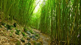 Bamboo Forest Wallpaper For PC