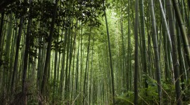 Bamboo Forest Wallpaper HQ
