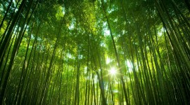 Bamboo Forest Wallpaper High Definition