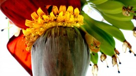 Banana Flower Wallpaper For IPhone