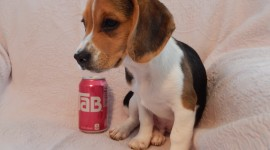Beagle Desktop Wallpaper