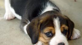 Beagle Desktop Wallpaper For PC