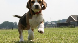 Beagle Photo Download