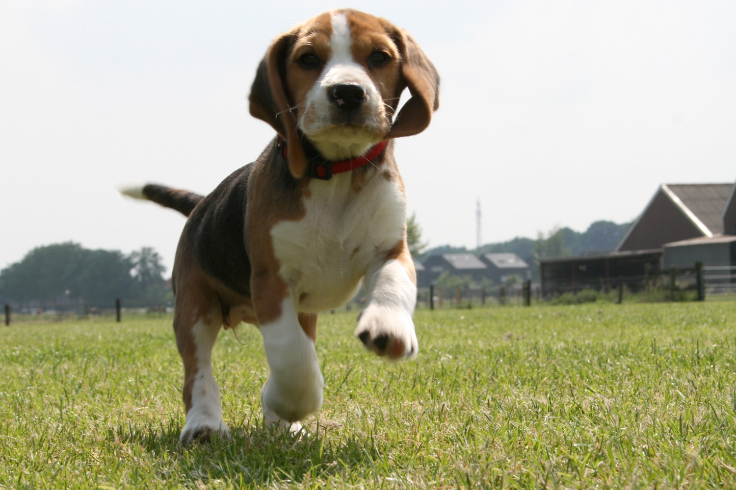 Beagle wallpapers high quality download free voltagebd Images