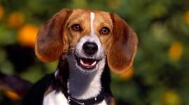 Beagle Photo#3