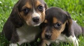 Beagle Wallpaper 1080p