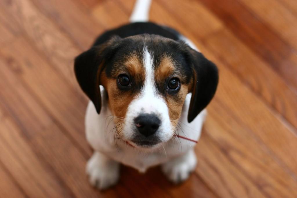 Beagle wallpapers HD