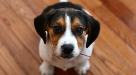 Beagle Wallpaper Download