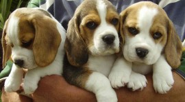 Beagle Wallpaper Download Free