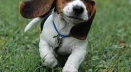 Beagle Wallpaper For Desktop